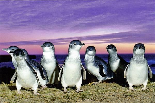 菲利浦島神仙企鵝