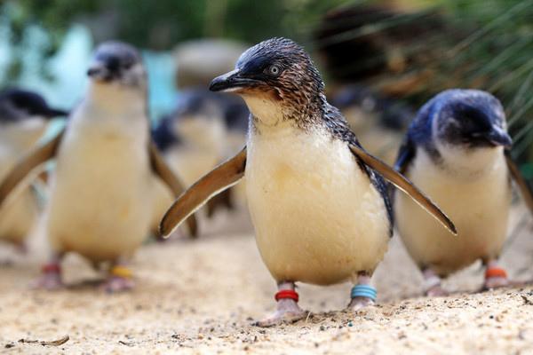 菲利浦神仙企鵝