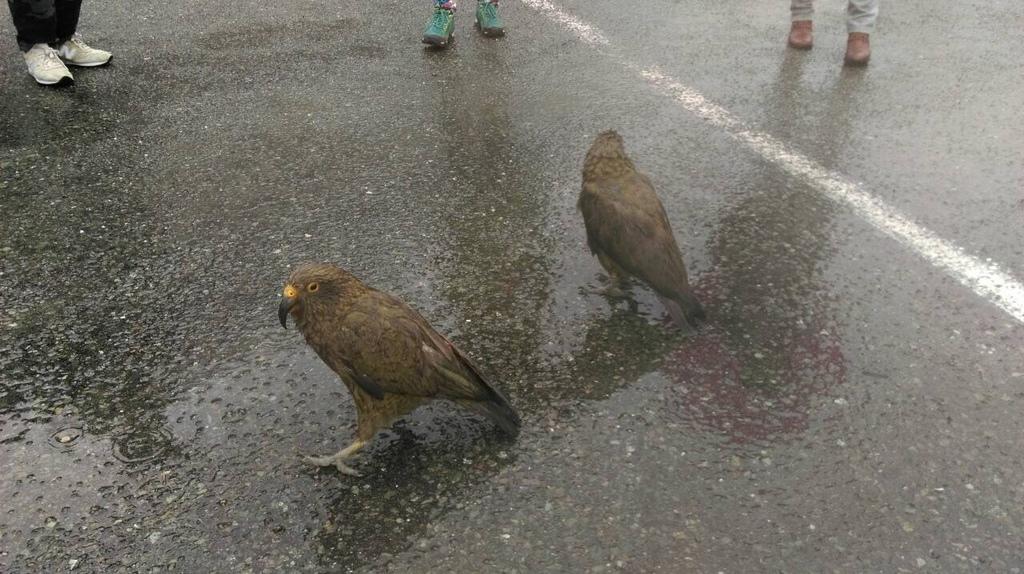 曾正宏~米佛峽灣-啄羊鸚鵡