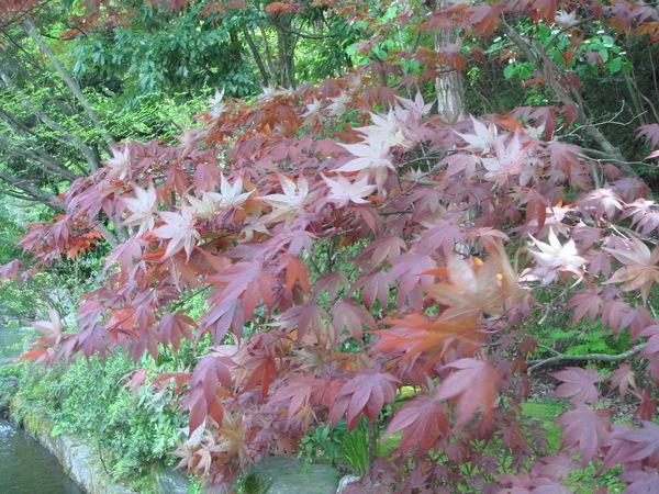跟楓葉很像的樹