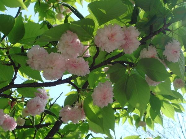 第一株櫻花