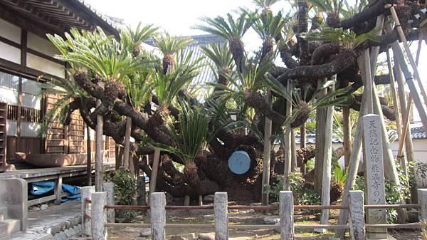 3-2-能滿寺三大鐵樹之一