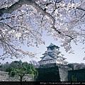本週大阪櫻花開得最燦爛喔~圖片由大阪觀光會議協會提供