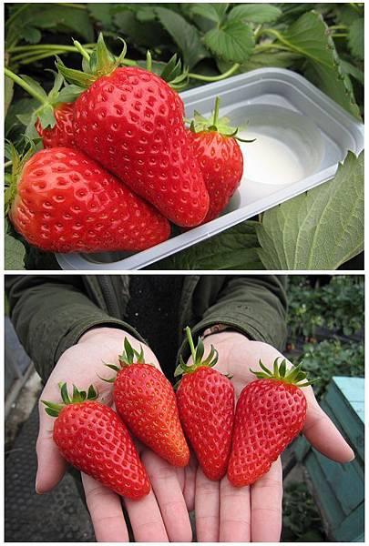 館山市採草莓