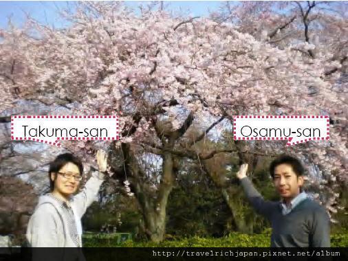 仙台市區櫻花