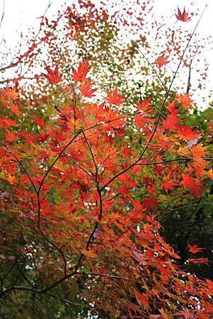 日本的美麗楓紅