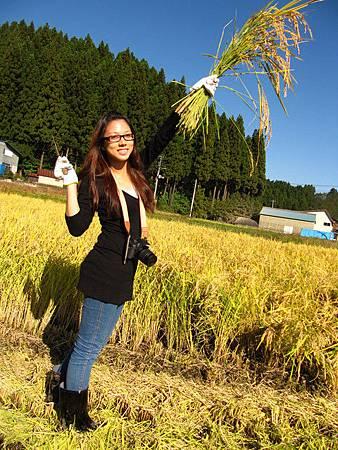 秋田秋日的金黃稻穗