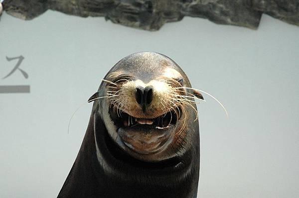 鴨川海洋世界-微笑海獅