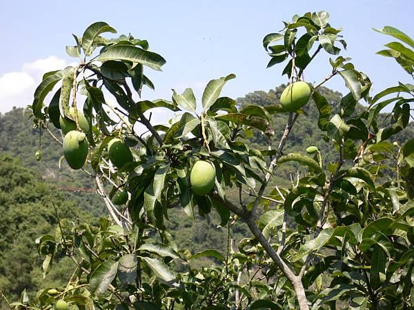 聽說現在是芒果的季節