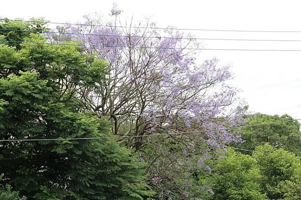 蘭花楹6.jpg