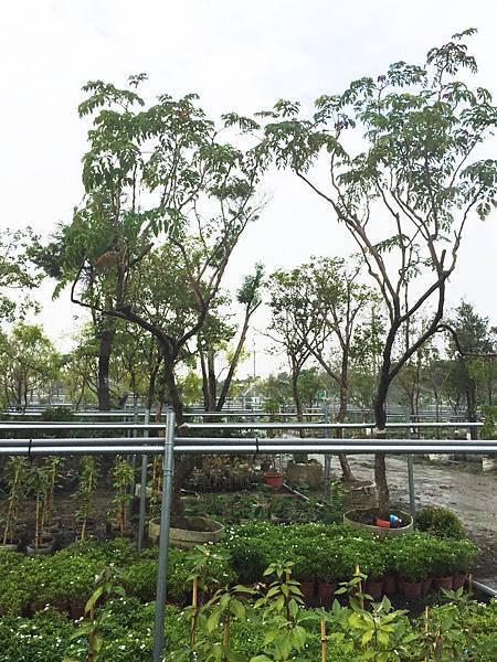 台灣火筒樹2.jpg