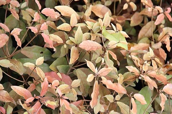 葉下白3.jpg