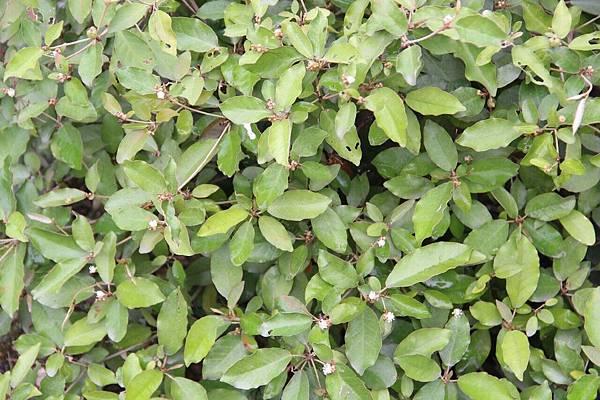 葉下白4.jpg
