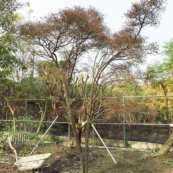 紫檀(楓港柿)3.jpg