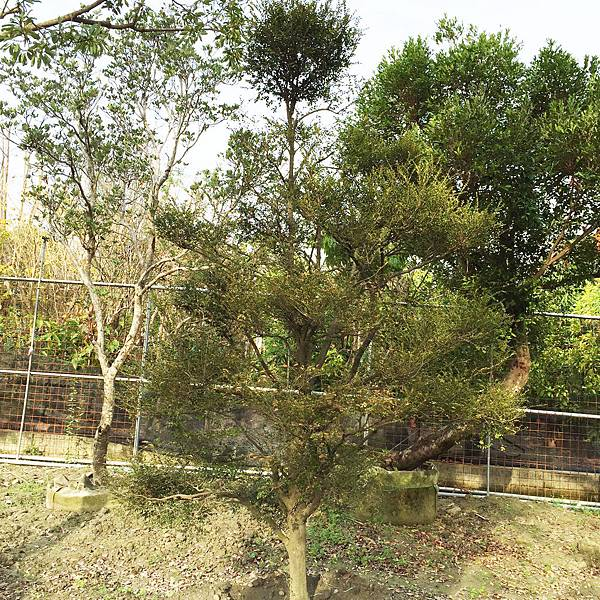 紫檀(楓港柿)2.jpg