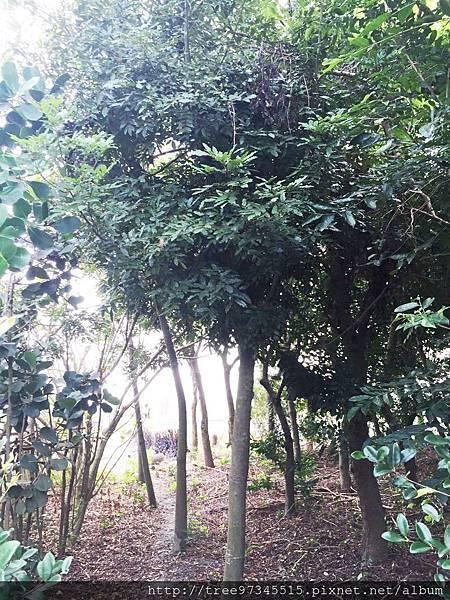 台灣紅豆樹4.jpg