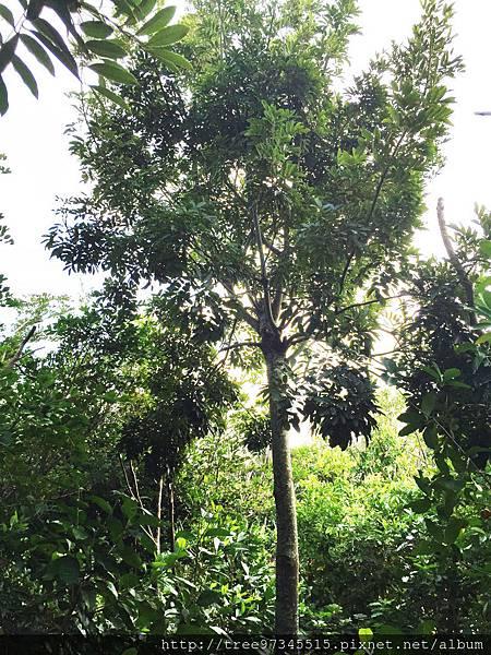 台灣紅豆樹2.jpg