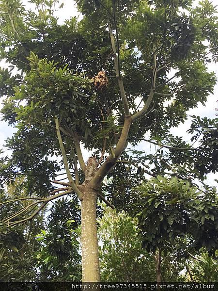 台灣紅豆樹3.jpg