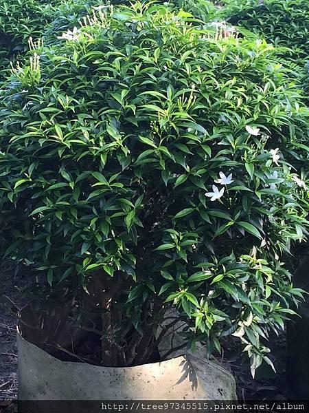珍珠山馬茶_170609_0004.jpg