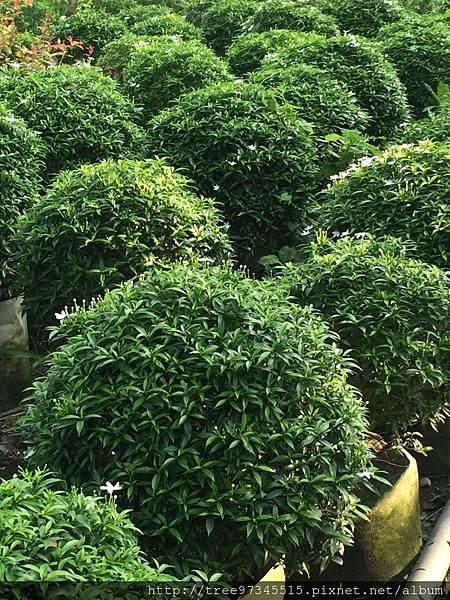 珍珠山馬茶_170609_0006.jpg