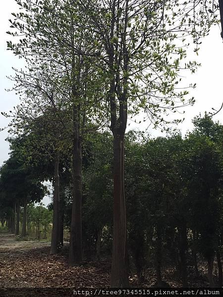 砲彈樹_170609_0005.jpg
