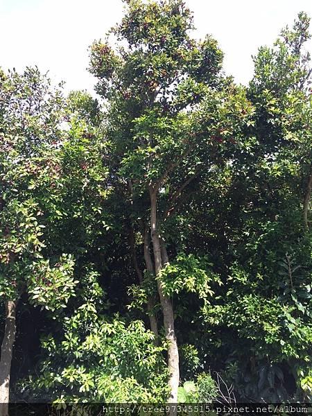 棒萼赤楠_170712_0002.jpg
