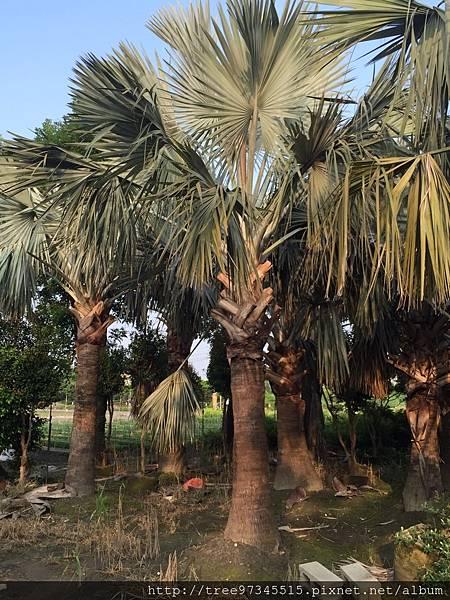 銀棕櫚_170609_0003.jpg