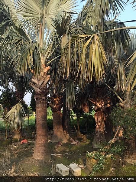 銀棕櫚_170609_0002.jpg
