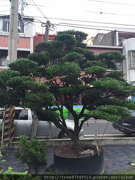 橡牙樹(黑木)_170612_0004.jpg
