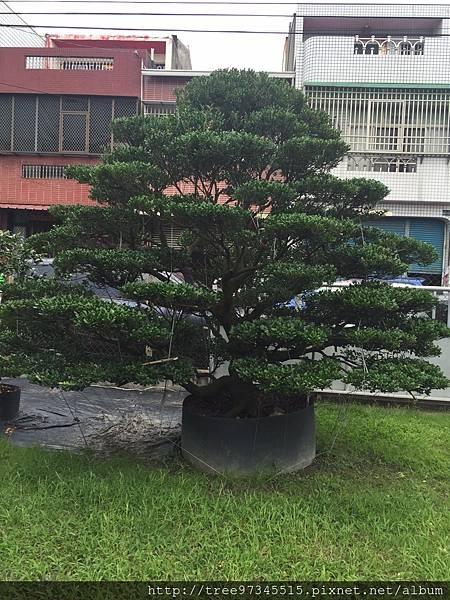 橡牙樹(黑木)_170612_0001.jpg