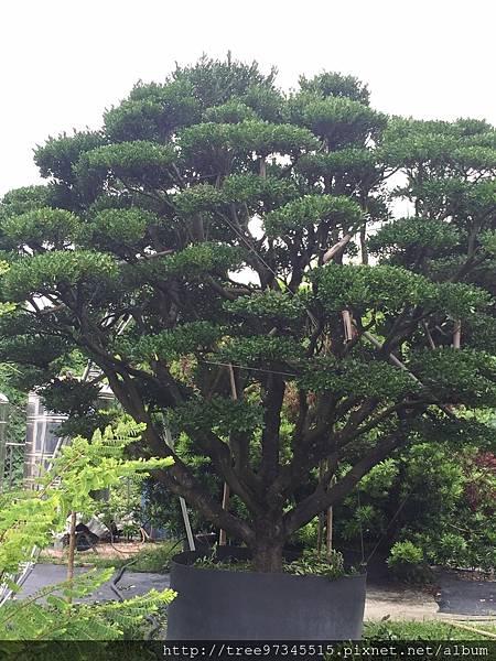 橡牙樹(黑木)_170612_0006.jpg