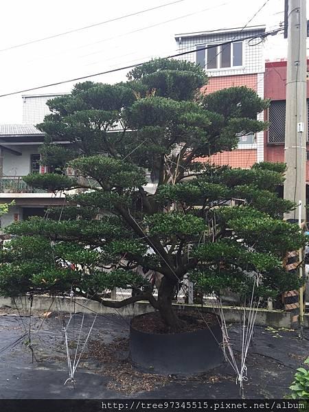 橡牙樹(黑木)_170612_0003.jpg