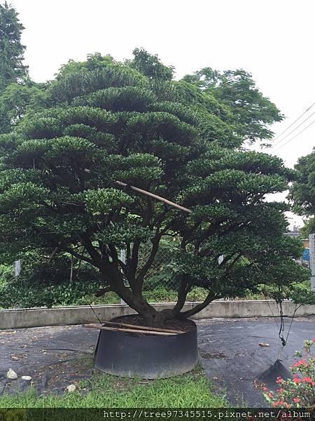 橡牙樹(黑木)_170612_0002.jpg