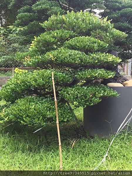 橡牙樹(黑木)_170612_0005.jpg