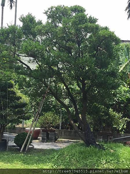 橡牙樹(黑木)_170612_0007.jpg