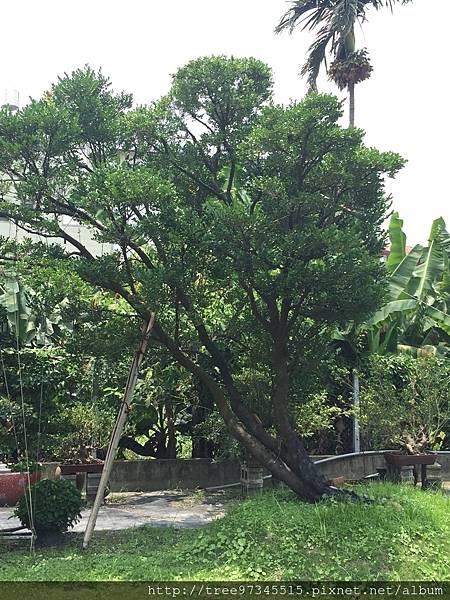 橡牙樹(黑木)_170612_0008.jpg
