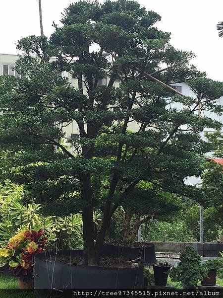 橡牙樹(黑木)_170612_0011.jpg