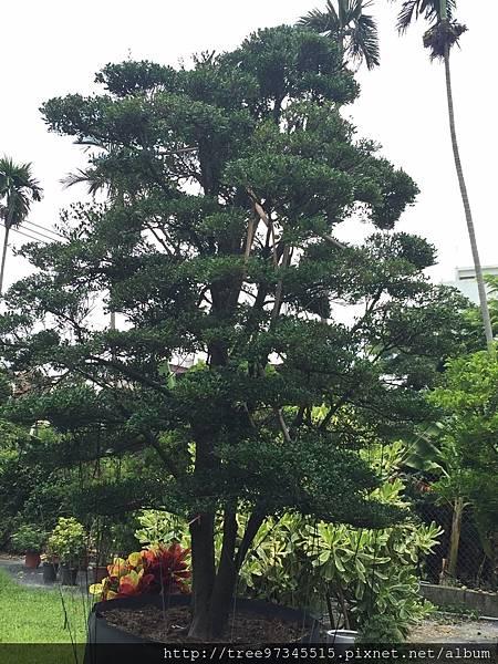 橡牙樹(黑木)_170612_0009.jpg