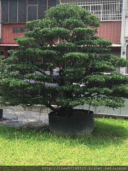橡牙樹(黑木)_170612_0010.jpg