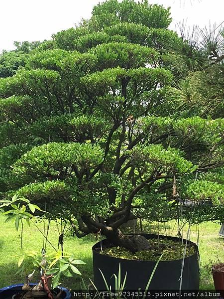 橡牙樹(黑木)_170612_0012.jpg