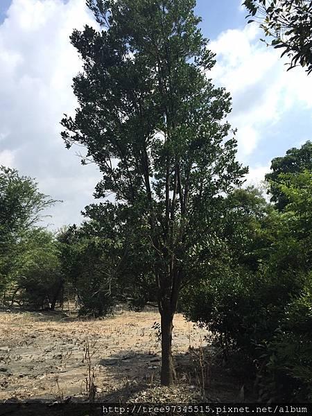 橡牙樹(黑木)_170612_0013.jpg