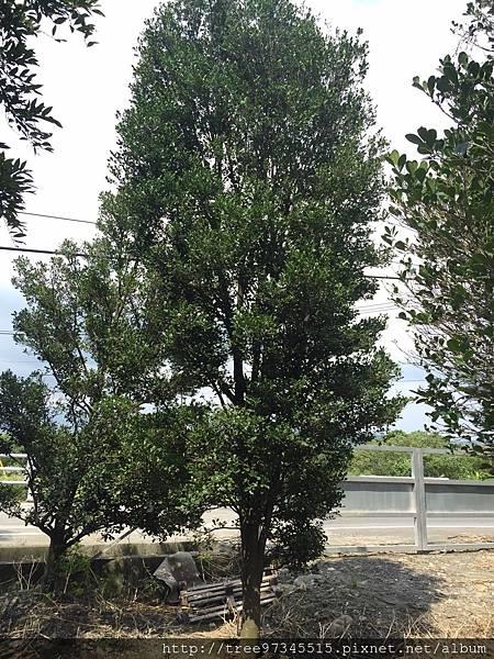 橡牙樹(黑木)_170612_0014.jpg