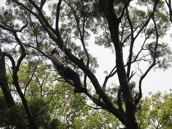 相思樹-4.JPG