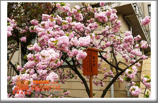2011造幣局13紅繡球.jpg