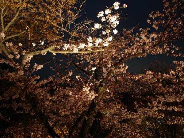 倒映的櫻花.JPG