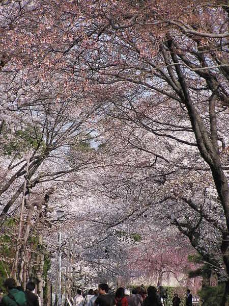 滿開的櫻花道.JPG