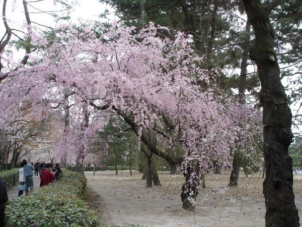京都御苑,皇宮外的庭園.JPG
