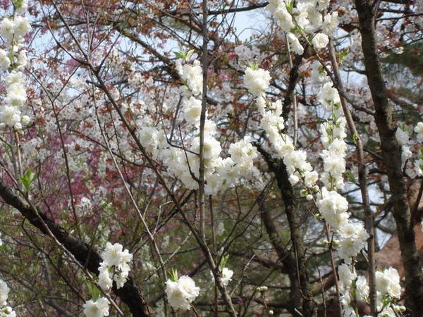 往上長成一柱狀的櫻花.JPG