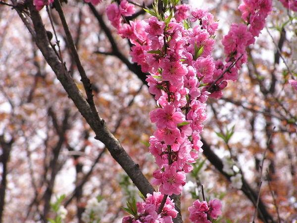 桃紅櫻花,不知名.JPG