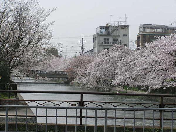 白川沿岸的櫻花.JPG